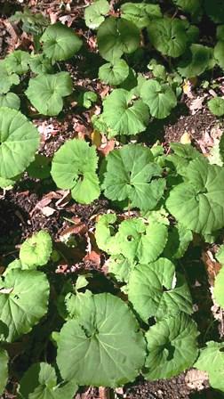 蕗の丸い葉
