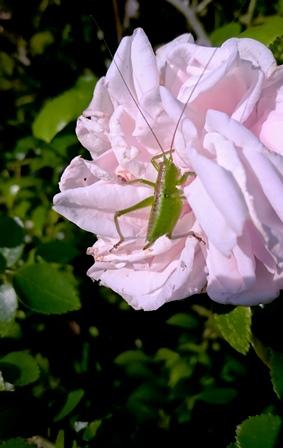 薔薇にキリギリス